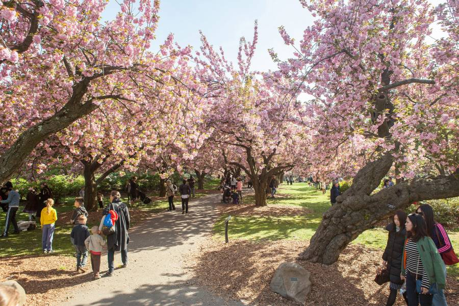 Brooklyn Botanical Garden, Hanami, Cherry Blossoms, Flowers Blooming Cultural Events