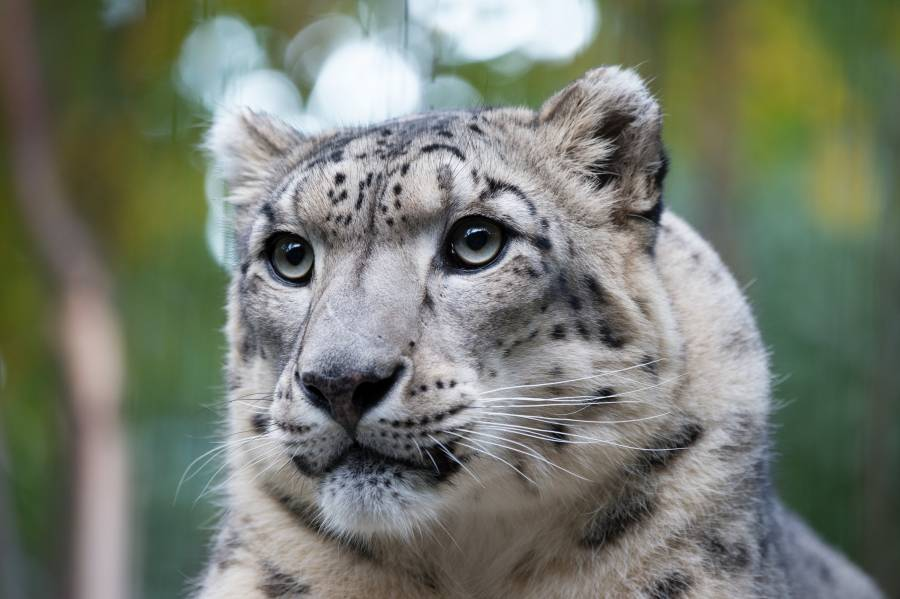 Snow Leopard at the Central Park Zoo.