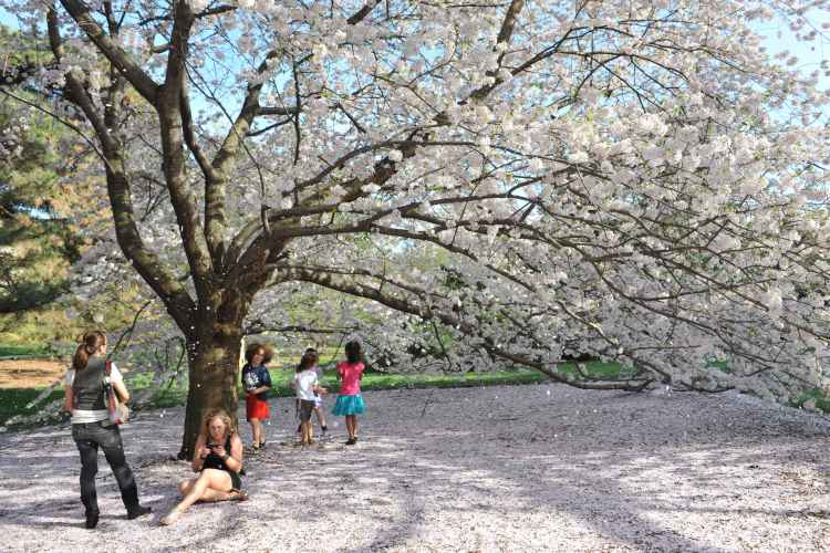 Cherry Blossom tree at the New York Botanical Garden