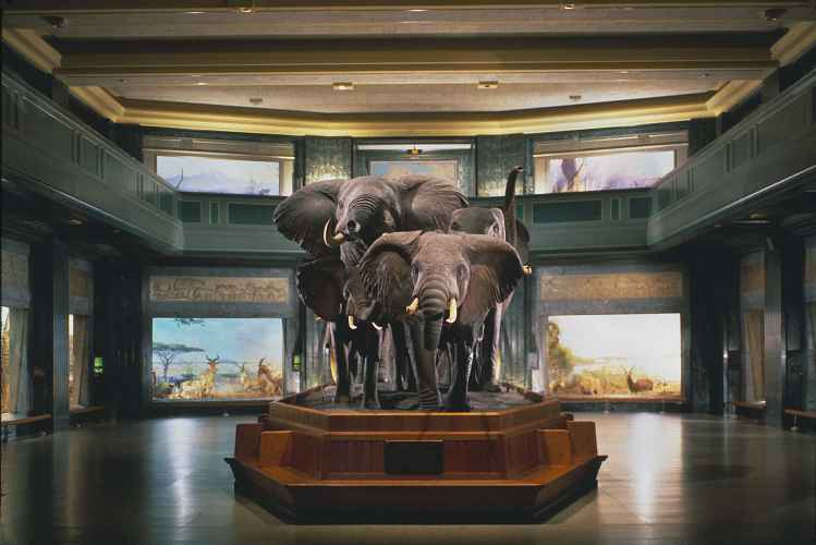 American Museum of Natural History, elephants