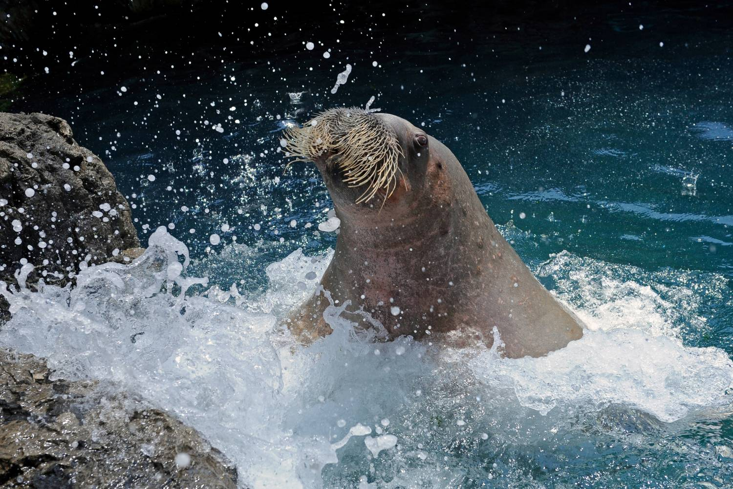 pacific walrus at New York Aquarium
