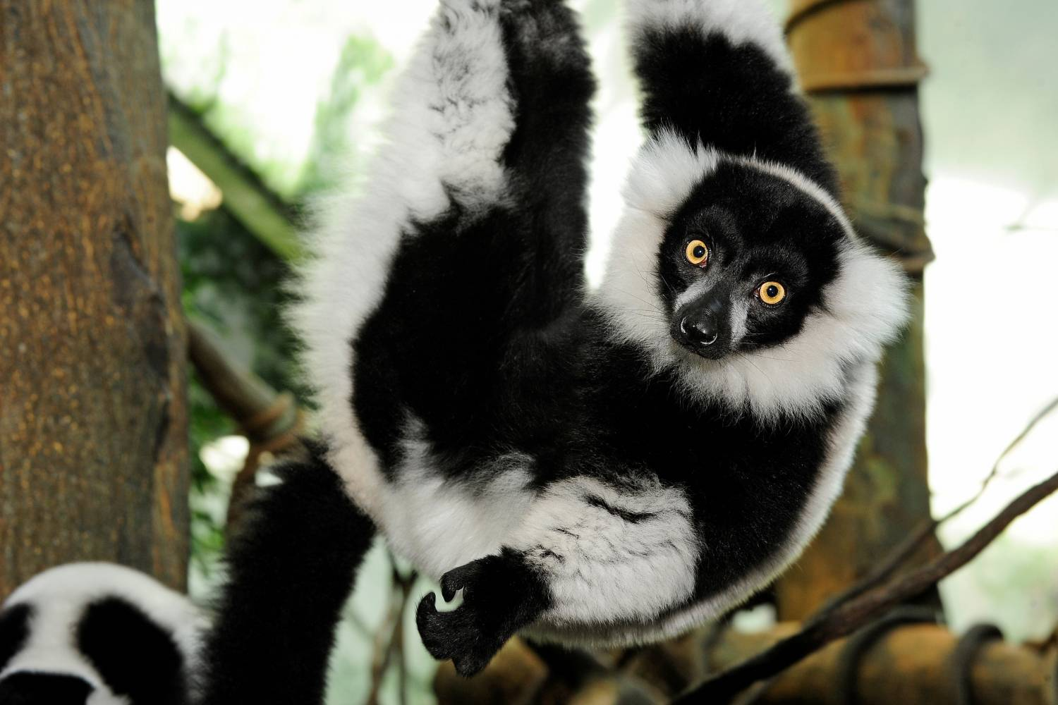 black-and-white ruffed lemur at the Central Park Zoo