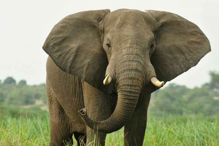 Wildlife Conservation Society, african elephant