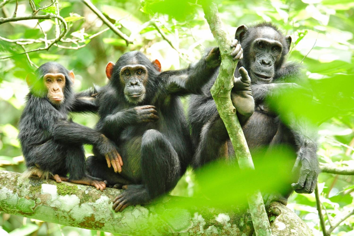 Wildlife Conservation Society, chimpanzees in wild