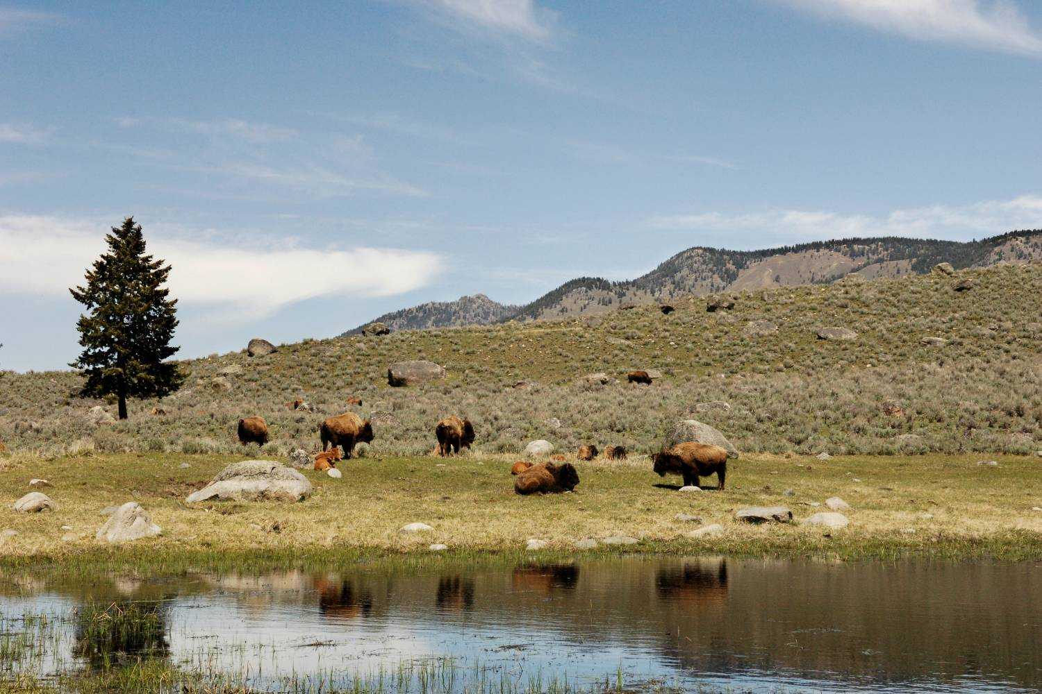 Wildlife Conservation Society, american bison herd by lake yell