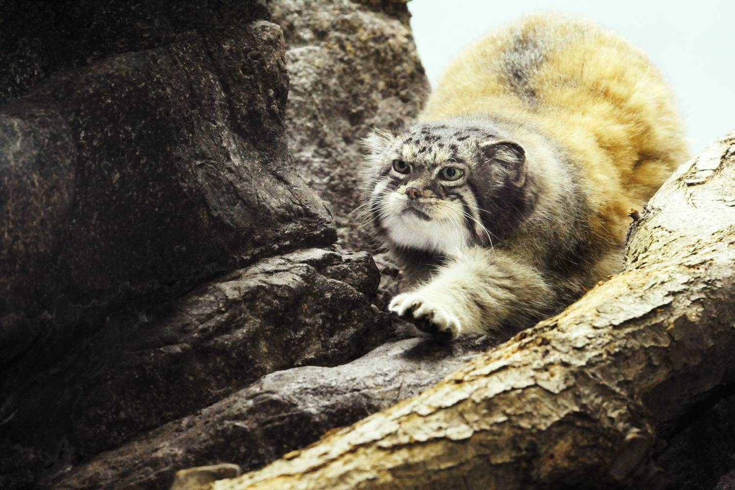 pallas cat at Prospect Park Zoo