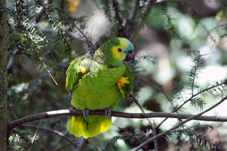 blue-fronted amazon at Queens Zoo