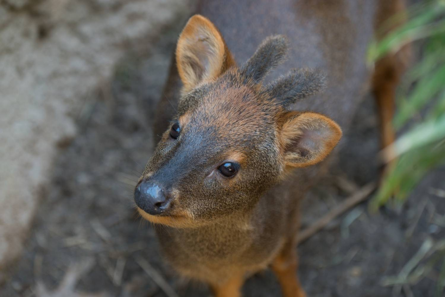 southern pudu at Queens Zoo