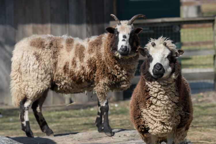 jacobs four-horned sheep at Queens Zoo